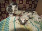 Фото в Кошки и котята Продажа кошек и котят Четыре пушистых котенка (1, 5 мес) ждут своих в Сергиев Посаде 0