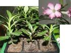 Фото в Домашние животные Растения Адениум - род кустарниковых или древесных в Серове 350