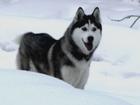 Фотки и картинки Сибирский хаски смотреть в Серове