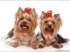 Свежее фото Стрижка собак Стрижка собак и кошек 37790492 в Серпухове