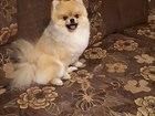 Смотреть фото Вязка собак Померанский шпиц кобель для вязки 44674360 в Серпухове