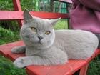 Изображение в Кошки и котята Вязка Не развязанный кот в возрасте полутора лет, в Севастополь 2000