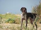 Изображение в Собаки и щенки Вязка собак Молодой кобель Курцхаара с родословной, рабочий в Севастополь 0