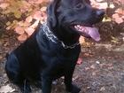 Смотреть фото Вязка собак Лабрадор чернго окраса для вязки 68181565 в Севастополь