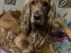 Скачать бесплатно фотографию Потерянные Пропала собака (мальчик) английский кокер-спаниел, 39843950 в Северске