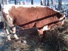 Смотреть foto  Продам быка на мясо 33979174 в Шарыпово