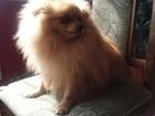 Скачать бесплатно foto Вязка собак Повяжу кобеля, 39420533 в Симферополь