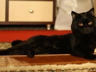 Котик ищет невест Остроухий британец с документами и опытом обольщения, ищет нев