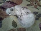 Фотография в   Продаю игривых, пушистых котят, девочку и в Славянске-на-Кубани 1000