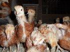 Фотография в   продам цыплят кросс Шейвер браун одни курочки, в Смоленске 220