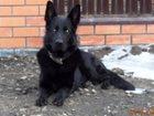 Фото в Собаки и щенки Вязка собак Чёрный кобель немецкой овчарки созрел для в Смоленске 0