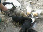 Скачать бесплатно foto Продажа собак, щенков Маленькая радость 33391900 в Смоленске