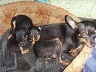 Изображение в Собаки и щенки Продажа собак, щенков мальчики и девочки, окрас рыжий и черный в Смоленске 12000