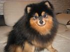 Изображение в Собаки и щенки Вязка собак Предлагаем для вязок перспективного кобеля в Смоленске 0