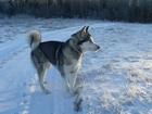 Фотография в Собаки и щенки Продажа собак, щенков Щенки аляскинского маламута для души!   18 в Смоленске 14000