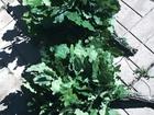Свежее фото Разное веники для бани и сауны 36658933 в Смоленске