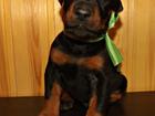 Фотография в Собаки и щенки Продажа собак, щенков Предлагаются к продаже щенки добермана, есть в Смоленске 15000