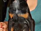 Фото в Собаки и щенки Продажа собак, щенков Предлагаются к продаже щенки добермана, есть в Смоленске 15000