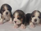Изображение в Собаки и щенки Продажа собак, щенков Продаются щенки бигля (3 мальчика и 3 девочки), в Смоленске 25000