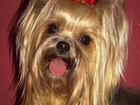 Новое фотографию Вязка собак Йорк вязка 38432224 в Смоленске