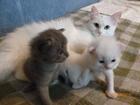 Скачать бесплатно foto  Ангорская кошка ищет кота для вязки 39420844 в Смоленске