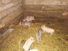 Увидеть foto Другие животные продам вьетнамских поросят 67635020 в Смоленске