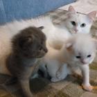 Ангорская кошка ищет кота для вязки