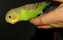 продажа - птенцы волнистых попугаев