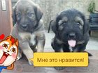 Уникальное изображение Продажа собак, щенков отдам щенков 33097006 в Сочи