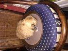 Фотография в Собаки и щенки Продажа собак, щенков Мини шит-цу тибетская болонка  Продается в Сочи 25000