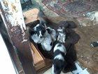 Фото в Собаки и щенки Продажа собак, щенков Отдаем очень славного щенка-девочку в добрые в Сочи 0