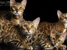 Фотография в Кошки и котята Продажа кошек и котят Питомник бенгальских кошек MagicShine предлагает в Сочи 0