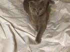 Скачать бесплатно фотографию Вязка кошек БРИТАНСКАЯ ВИСЛОУХАЯ КОШЕЧКА ИЩЕТ КОТА, 67722382 в Сочи