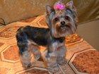 Изображение в Собаки и щенки Стрижка собак Стрижка собак в Чашниково. Мелкие породы в Солнечногорске-30 800