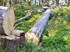 Уникальное foto  Продам бревна сухостоя, Карельская сосна, Кело, 34573101 в Петрозаводске