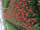 Изображение в Домашние животные Растения Тюльпаны собственной выгонки к 8 марта, все в Армавире 22