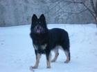 Изображение в Собаки и щенки Вязка собак Немец, красавчик, окрас черный, вес 50 кг. в Ставрополе 0