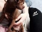 Скачать бесплатно фото Вязка собак Ищу кабеля чихуахуа 38356798 в Ступино