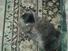 Фотография в Потерянные и Найденные Потерянные 4 апреля найдена кошечка в Районе магазина в Сургуте 0