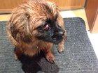 Фотография в Потерянные и Найденные Потерянные Сегодня 06. 05. 15 была найдена собака породы в Сургуте 0