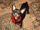 Фотография в Собаки и щенки Вязка собак Ласковый, милый, общительный, опытный парень в Сургуте 0
