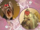 Изображение в Собаки и щенки Продажа собак, щенков Красивые Высокопородные щенки йоркширского в Сургуте 30000