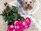Фотография в Собаки и щенки Вязка собак 2 года, привит, из документов имеется: вет в Сургуте 0