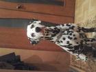 Фото в Собаки и щенки Вязка собак Кобелю 3 года. Привит, первая вязка. очень в Санкт-Петербурге 1000