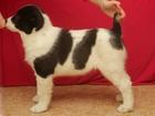 Фото в   Предлагаются к продаже породные щенки среднеазиатской в Сургуте 20000