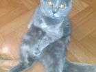 Просмотреть foto Вязка Британская кошечка ищет британского котика в Сургуте 38477764 в Сургуте