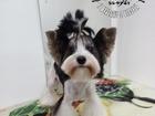 Уникальное изображение Стрижка собак Модные прически для ваших питомцев в Сыктывкаре 57184423 в Сыктывкаре