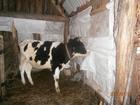 Фотография в   стельная тёлка 1, 6 года чёрно белая в Сызране 50000