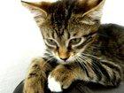 Фото в Потерянные и Найденные Потерянные Потерялся полосатый кот Васька (ВЗРОСЛЫЙ). в Таганроге 0