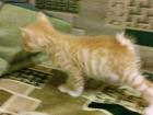 Фотки Курильский бобтейл смотреть в Мичуринске